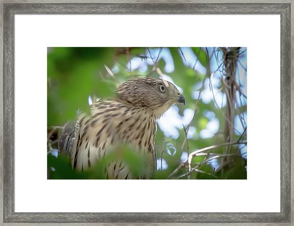 Red-shouldered Hawk Fledgling 1 Framed Print