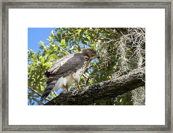 Red-shouldered Hawk Fledgling - 4 Framed Print
