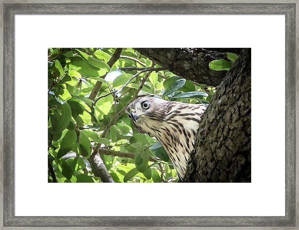 Red-shouldered Hawk Fledgling - 5 Framed Print