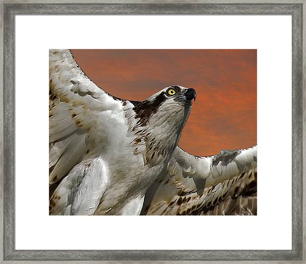 Osprey Flight Framed Print