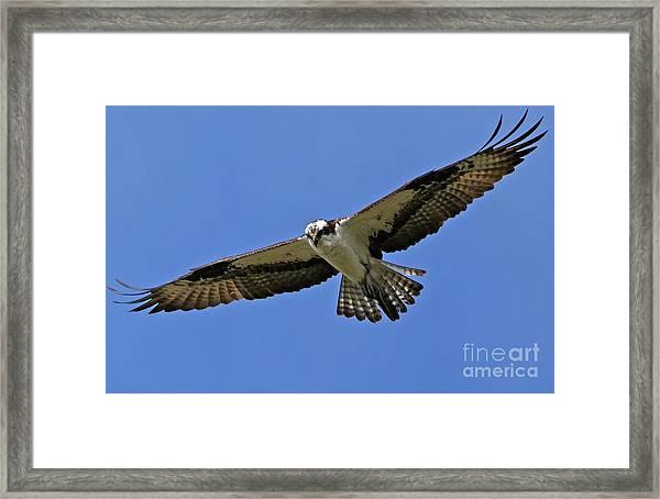 Osprey Glide Framed Print
