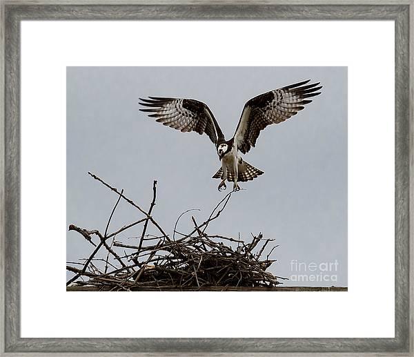 Osprey Landing Framed Print