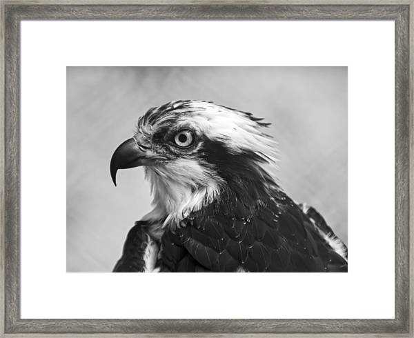 Osprey Monochrome Portrait Framed Print