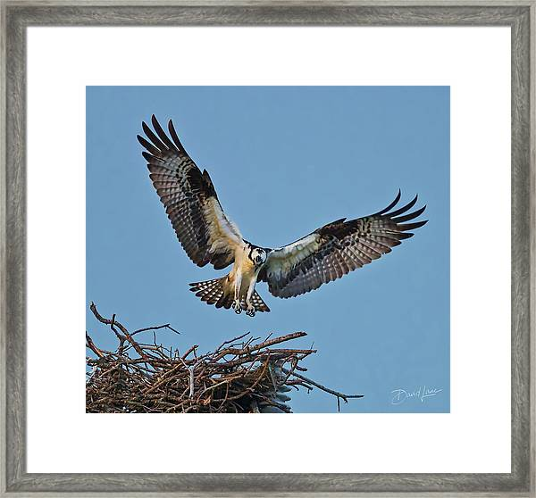 Framed Print featuring the photograph Osprey Nest Landing by David A Lane