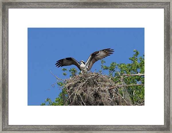 Osprey On Nest Wings Held High Framed Print
