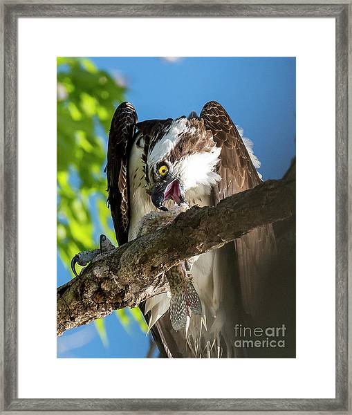 Osprey With Prey Framed Print