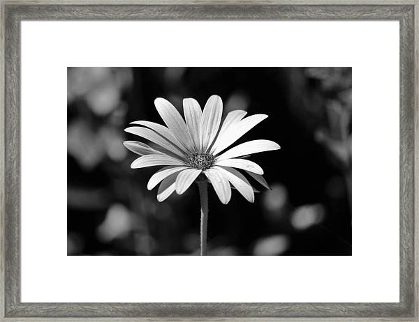 Osteospermum  Framed Print