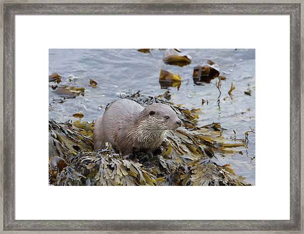 Otter On Seaweed Framed Print