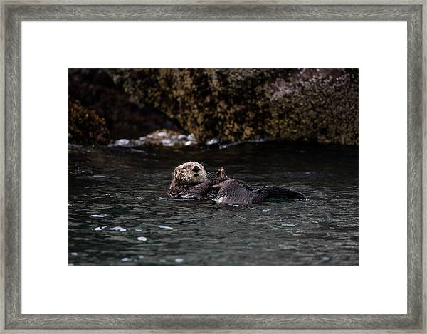 Otter Playing In The Bay Framed Print