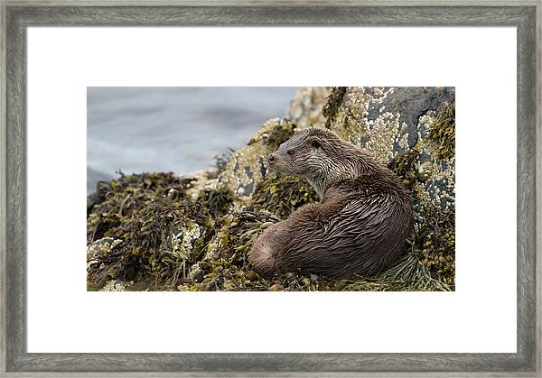 Otter Relaxing On Rocks Framed Print
