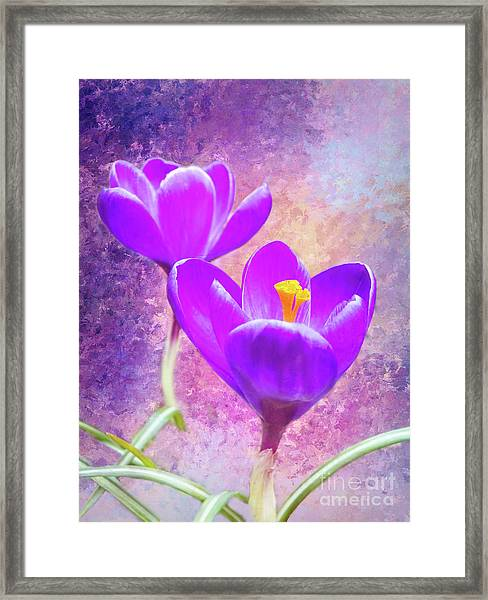 Our First Crocuses This Spring Framed Print