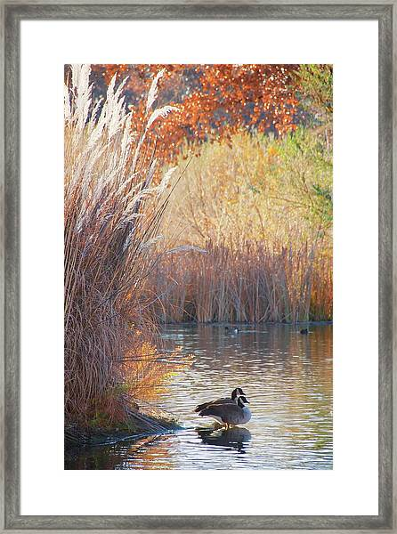 Sanctuary, Canadian Geese Framed Print