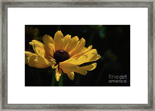Ox Eye Susan Framed Print