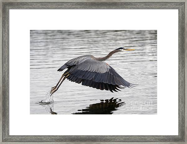 Pacific Great Blue Heron On Lift Off Framed Print