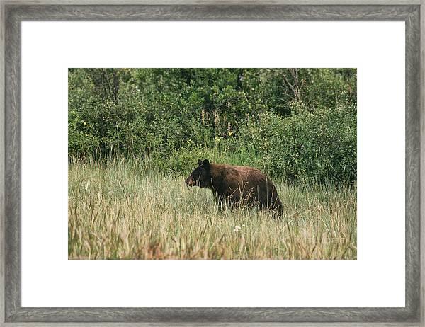 Pagosa Momma Bear Framed Print