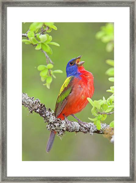 Painted Bunting Singing 2 Framed Print
