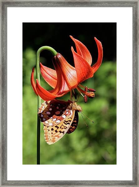 Painted Lady On Lily Framed Print