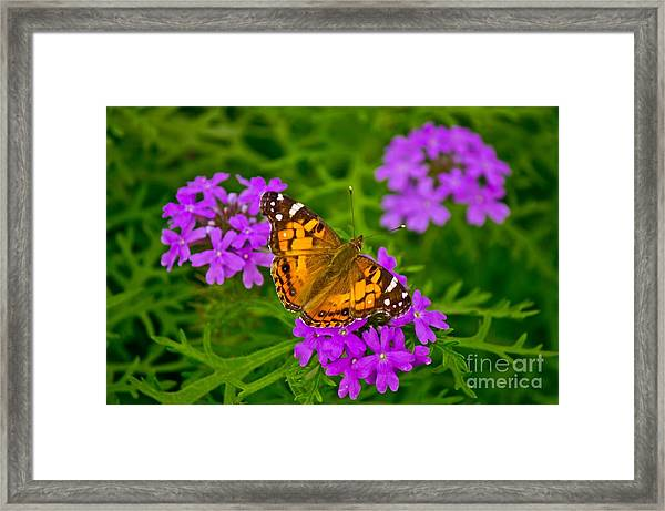 Painted Lady On Purple Verbena Framed Print