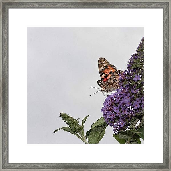 Painted Lady (vanessa Cardui) Framed Print