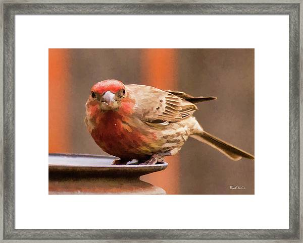 Painted Male Finch Framed Print