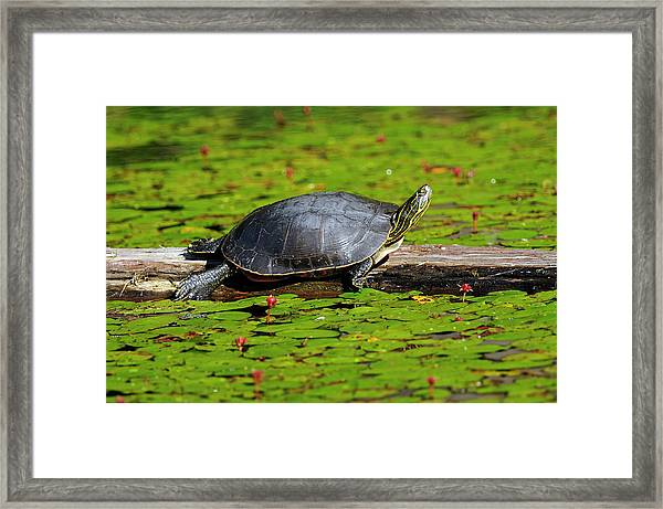 Painted Turtle On Log With Lily Pads Framed Print