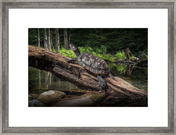 Painted Turtle Sitting On A Log Framed Print
