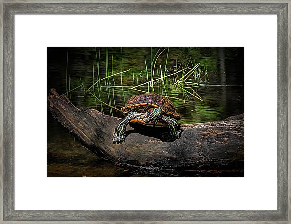 Painted Turtle Sunning Itself On A Log Framed Print