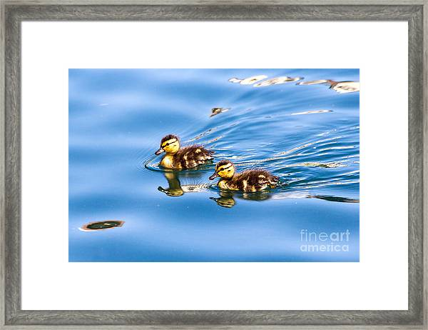 Duckling Duo Framed Print