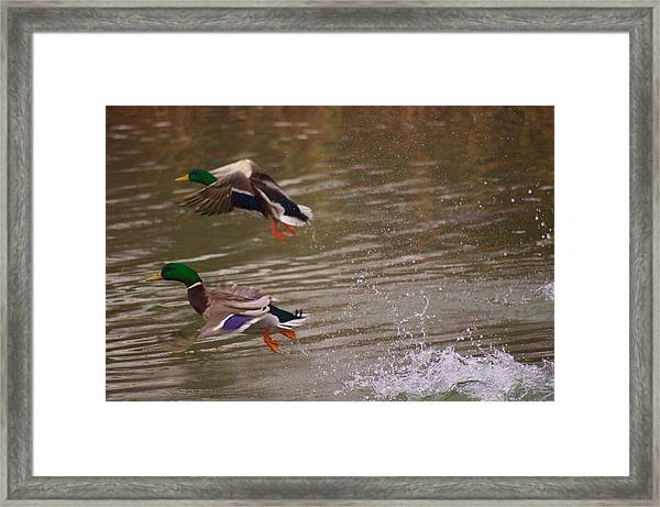 Pair Of Ducks Framed Print