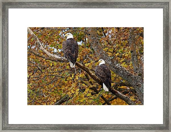 Pair Of Eagles In Autumn Framed Print