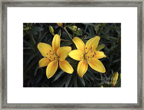 Pair Of Yellow Lilies Framed Print