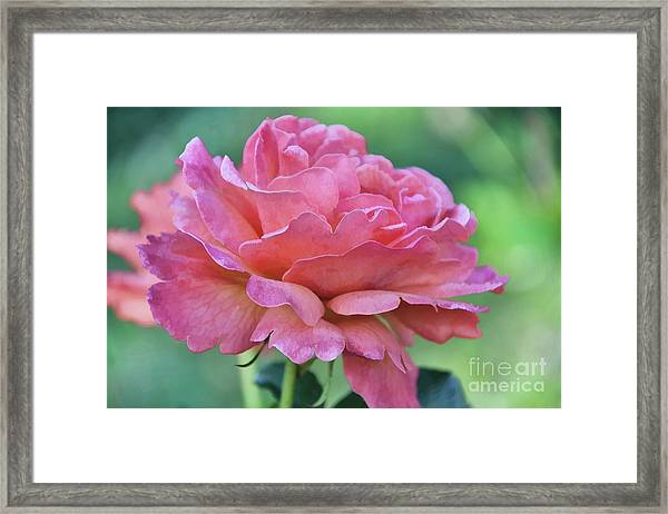 Pale Blush Framed Print