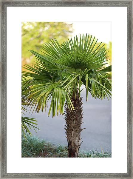 Palm Tree Just There Framed Print