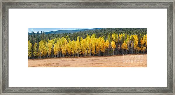 Panorama Of Aspen Grove Fall Foliage Peak To Peak Highway - Rocky Mountains Colorado State Framed Print