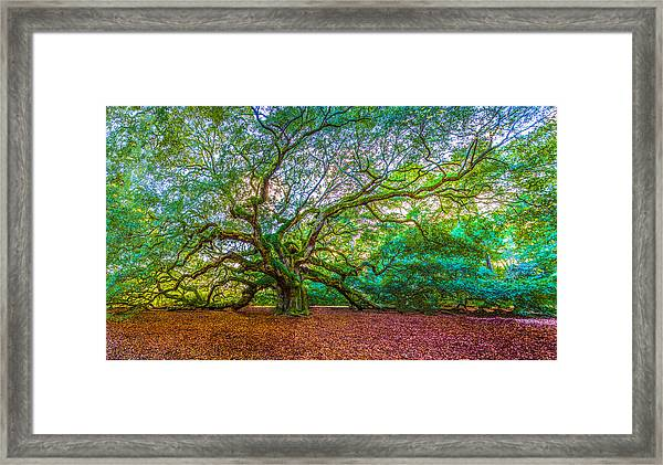 Panoramic Angel Oak Tree Charleston Sc Framed Print