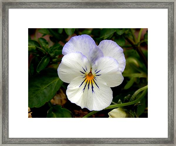 Pansy Face Framed Print