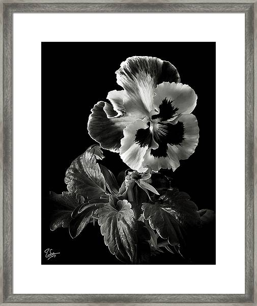 Pansy In Black And White Framed Print