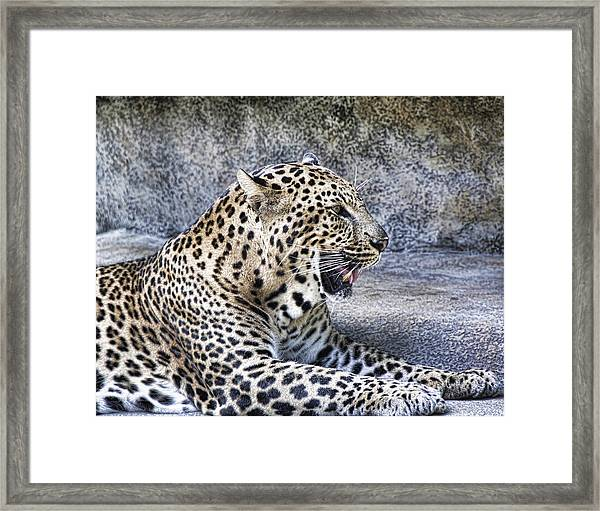 Panting Leapord Framed Print