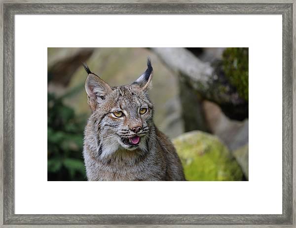 Panting Lynx Framed Print