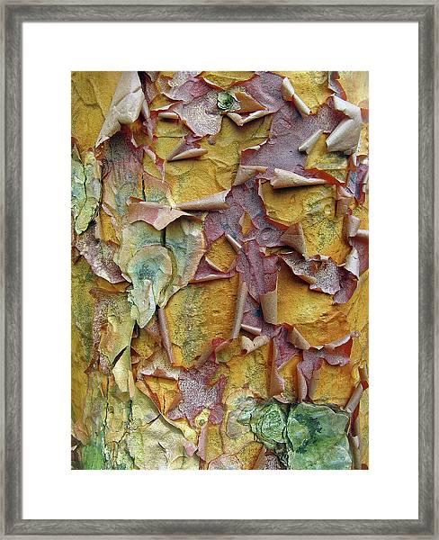 Paperbark Maple Tree Framed Print