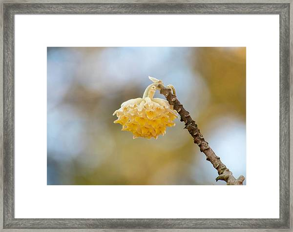Paperbush Flower Framed Print