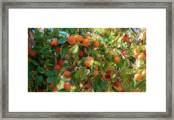 Paradise For Persimmons Framed Print