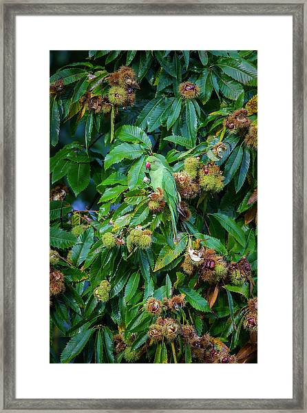 Parakeet Framed Print