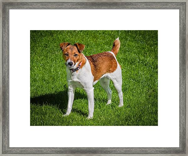 Framed Print featuring the photograph Parson Jack Russell by Nick Bywater