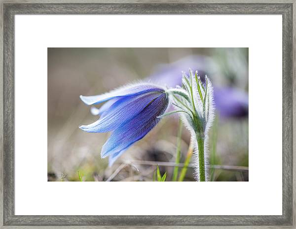 Pasque Flower's Silver Grey Hair Framed Print