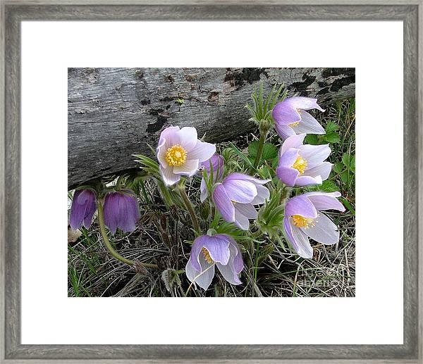 Pasqueflower Bouquet Framed Print