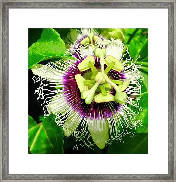Passion Flower 1 Framed Print