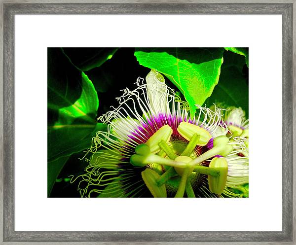 Passion Flower 2 Reflecting Framed Print