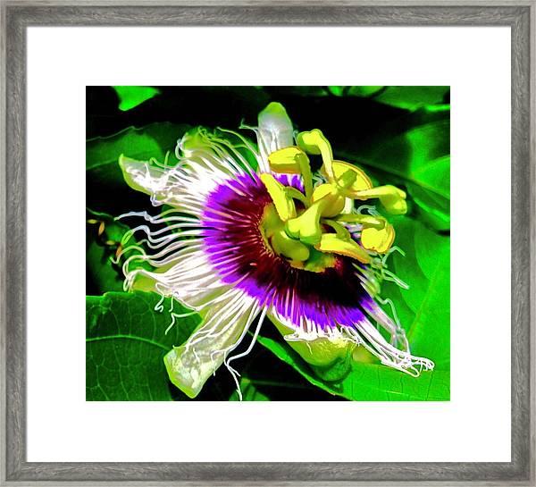 Passion Flower 3 Uplift Framed Print