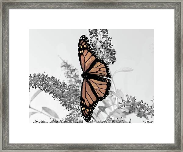 Pastel Monarch On Black And White Framed Print